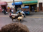 Ibarra is the Big City comparted to Cotacachi- but not too big for goats!