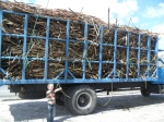 sugar cane load on that truck