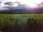 Sugarcane field at sunset